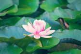 Water ping lily flower with glow — Stock Photo