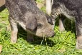 Breeding piglet — Stock Photo