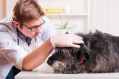 Vet examines the dog's ears in the office — Zdjęcie stockowe