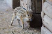Young wild boar in the barn — Stock Photo