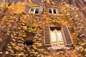Yellow ivy on the facade of house — Stock Photo