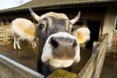 Mouth of cow in the barn, Farm — Stockfoto