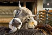 Cow tongue licking another cow in the yard — Stock Photo