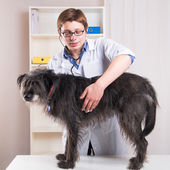 Vet examining a dog with a stethoscope in the office — Stok fotoğraf