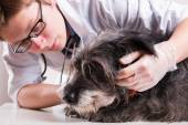 Vet examines the dog's head — Stock Photo