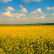 Field of mustard flowers — Stock Photo #58038897