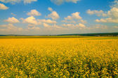 Field of mustard flowers — ストック写真