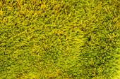 Moist and yellow-green moss texture. — Stock Photo