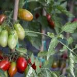 Tomato Plant — Stock Photo #57556811