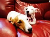 Something is so boring Jack russell terrier — Stockfoto