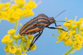 Minstrel Bug on Fennel — Stock Photo