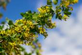 Bush with yellow flowers background — Stock Photo