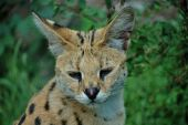 A serval cat focuses attentively with its eyes and ears.  — Stock Photo