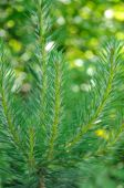 Close-up photo of pine branch.  — Stock Photo