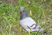 Pigeon. — Stock Photo