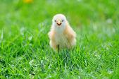 Beautiful little chicken on green grass — Stock Photo