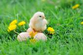 Beautiful little chicken on green grass — Stock Photo