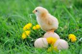 Beautiful little chicken on green grass — Stock fotografie
