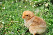 Petit poulet. — Photo