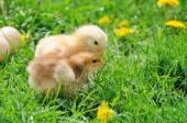 Little chicken. — Стоковое фото