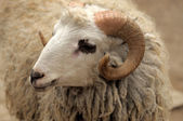 The head of a ram. — Stock Photo
