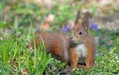 Squirrel. — Stock Photo