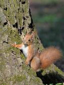 Squirrel. — Foto de Stock