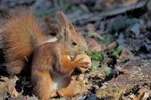 Squirrel. — Zdjęcie stockowe
