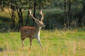 Spotted deer. — Stock Photo