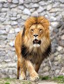 Löwe. — Stockfoto