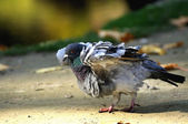 Portrait of a pigeon. — Stock Photo