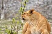 Lioness. — Stock Photo