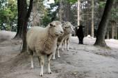 Sheep. — Stock Photo