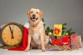 Labrador with Santa Hat. New Years garland and presents — Photo