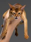 Purebred abyssinian young cat portrait — Stock Photo