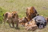Lions Feeding — Foto de Stock