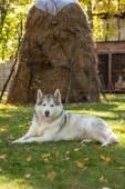 Portrait of Siberian Husky — Stock Photo