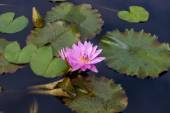 Pink lotus blossoms or water lily flowers — Stock Photo