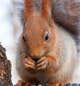 Eurasian red squirrel gnaws sunflower seeds — Fotografia Stock