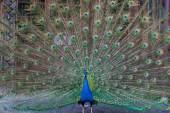 Peacock with multicolored feathers — Stock Photo