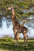 Giraffe on a background of grass — Foto Stock