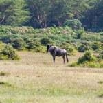 Antelope wildebeest migration in Kenya — Stock Photo #62847251
