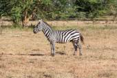 Zebra in the grasslands — Stock Photo