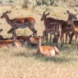 The group of antelopes on the grass — Stock Photo #64604009
