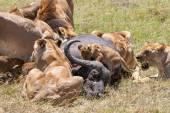 Lions Feeding — Stock Photo