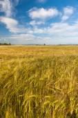 Wheat growing in green farm field — Stock Photo