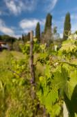Young green unripe wine grapes — Stock Photo