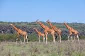 Troupeau de girafes dans la savane — Photo