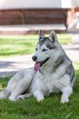 Портрет щенок Сибирского Эскимоса — Стоковое фото