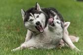 2 匹の犬のシベリアン ハスキーの肖像画 — ストック写真